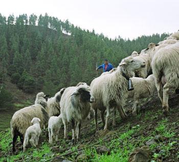 ovejas-canarias-en-pavon