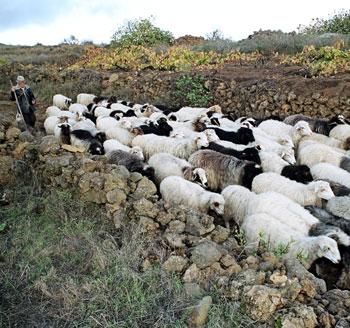 pastor-y-ganado-el-hierro