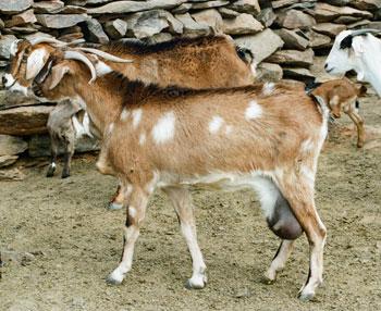"""""""La cabra majorera es la mejor del mundo para la producción de quesos"""""""
